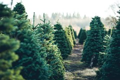 Row of Christmas trees on a farm.
