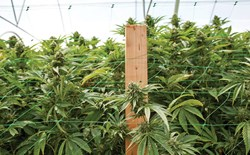 Cannabis grow supported by stakes and netting