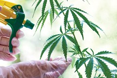 Grower spraying Triacontanol onto leaves of cannabis plant