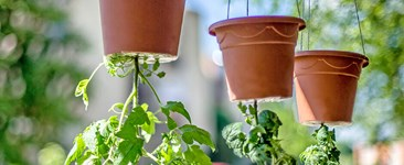 Tomato plants growing upside down