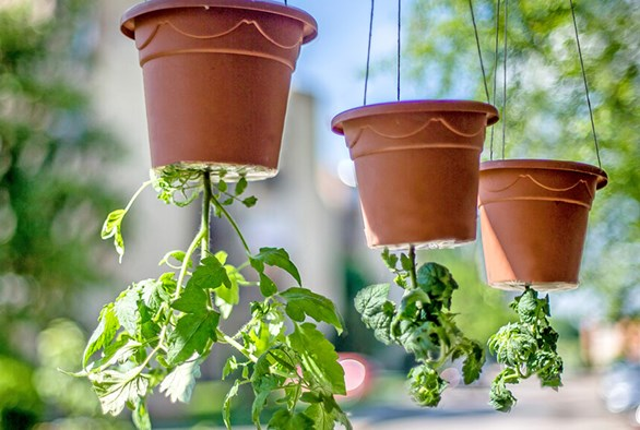 Hanging Vegetable Gardens: What Vegetables Can Be Grown Upside Down