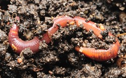 Worm curled up on garden soil.