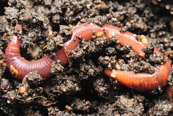 Worm Tea: The Secret to Organic Gardening