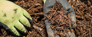 Hand holding pile of vermicompost