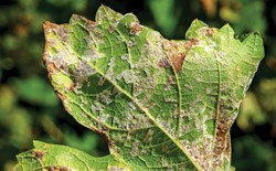 leaf infected with powdery mildew