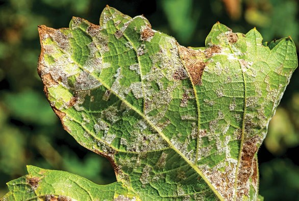 Dealing with Downy Mildew