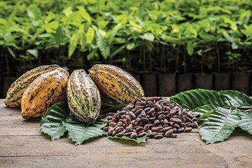 A Brief History of Cocoa Beans
