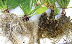 Two sets of roots from a hydroponic system, one healthy and one diseased.