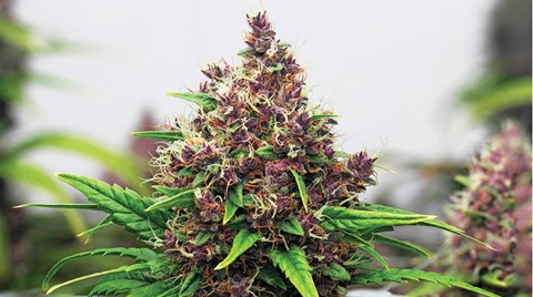 Building a strong foundation during cloning and vegetative growth will lead to bigger and better buds during bloom.