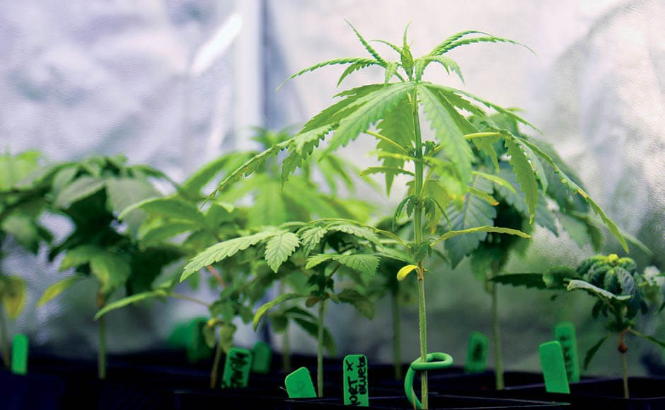 Getting Your Cannabis Grow Off to a Great Start