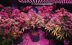 Cannabis Lighting Plan