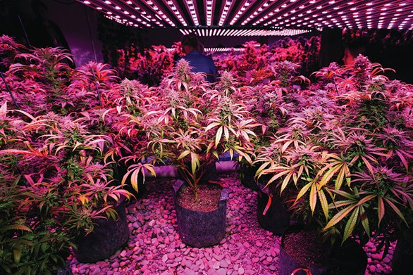 Lighting Elements to Consider for Indoor Cannabis Gardens