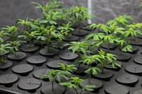 Cloning Cannabis: Purchasing vs. Creating
