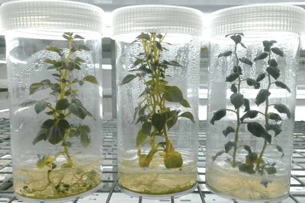 Lab to Home Gardens: Countertop Tissue Culture