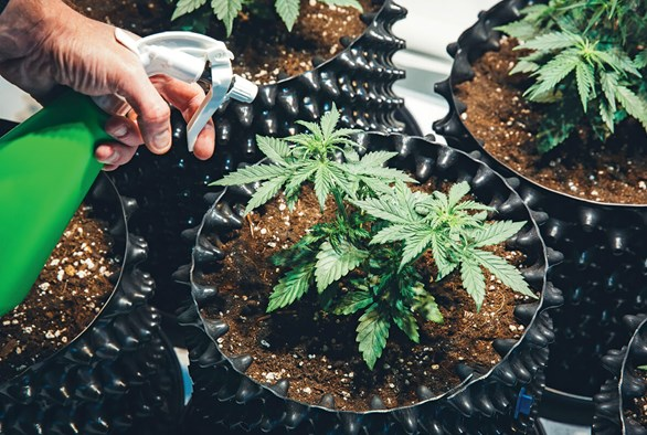Identifying All-Natural Pesticides and their Benefits for Cannabis Plants