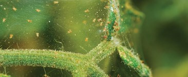 The Benefits of Bio-control for Growing Cannabis Plants