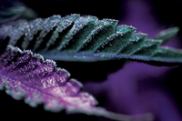 A Growing Trend: Picture Perfect Purple Cannabis