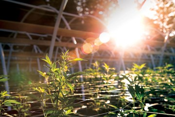 How to Grow Marijuana Outdoors in Raised Gardens