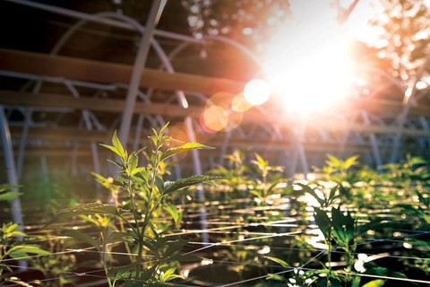 Marijuana grows exceptionally well hydroponically and, as writer Wiley Geren tells us, cannabis also does very well in its natural...
