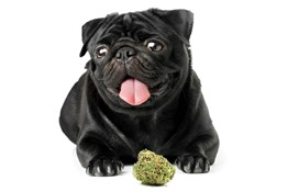 Ray_Cannabis-Pets