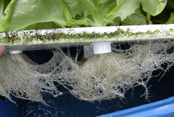 Subterranean Tactics: Root Zone Manipulation in Hydroponics