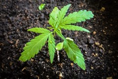 Important Tips for Growing Cannabis in Soil