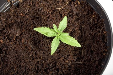 How to Grow Cannabis Organically