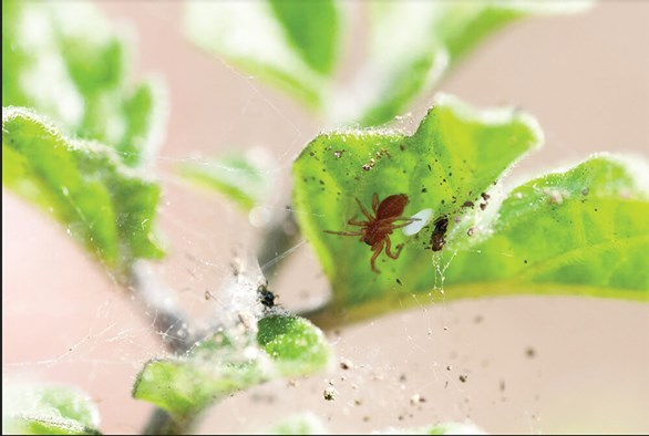 Fighting Spider Mites in the Growroom