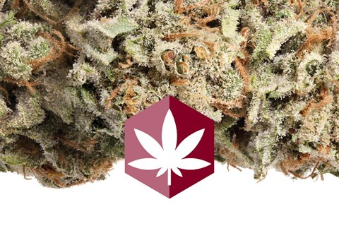 Get focused, creative, and inspired with Super Silver Haze, the strain that brings color to the colorless daily grind.