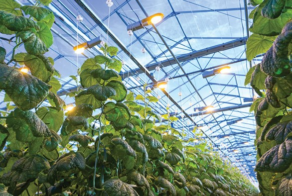 Combining Sunlight and Grow Lights: Supplemental Greenhouse Lighting