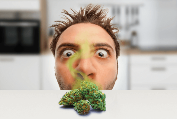 Using Terpenes and Scent to Choose Cannabis Strains