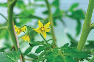 My tomato plants are flowering but they're not producing fruit.